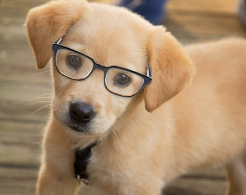 Labrador wearing glasses